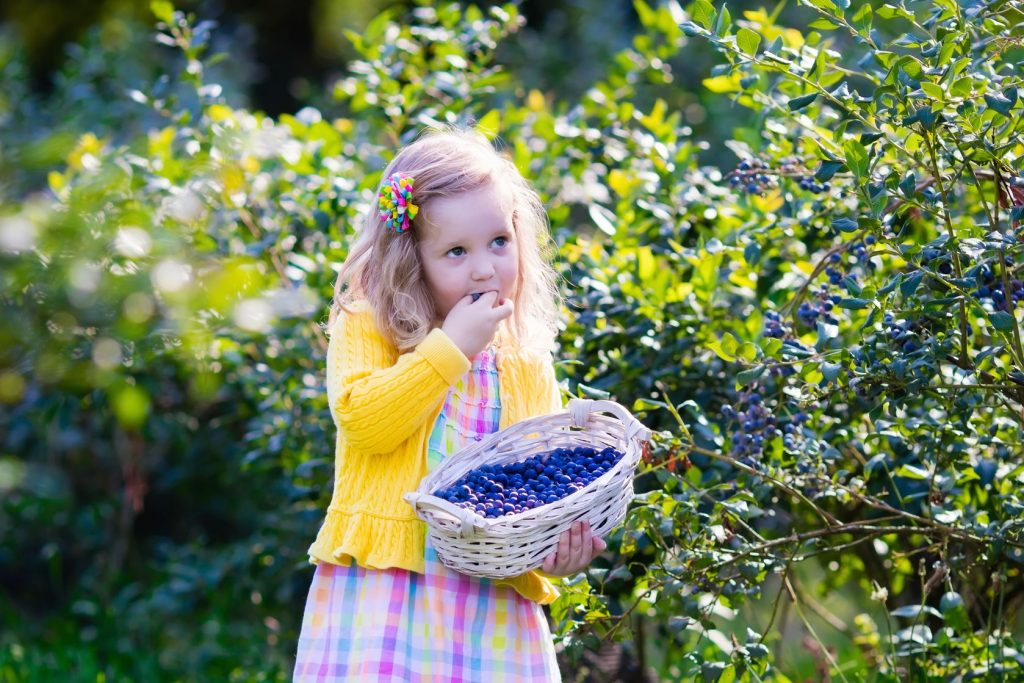 44334818 - kids picking fresh berries on blueberry field. children pick blue berry on organic farm. little girl playing outdoors in fruit orchard. toddler farming. preschooler gardening. summer family fun.